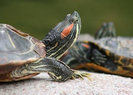 vendita tartarughe d'acqua