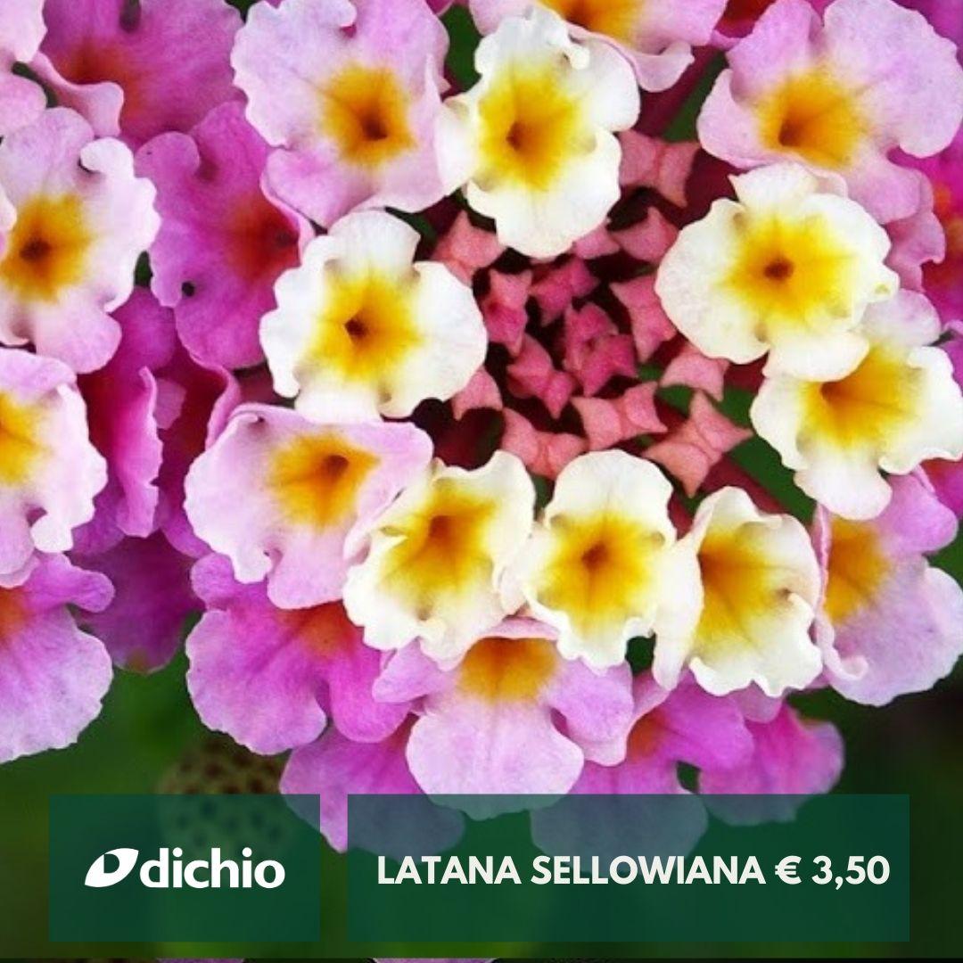 Latana Sellowiana