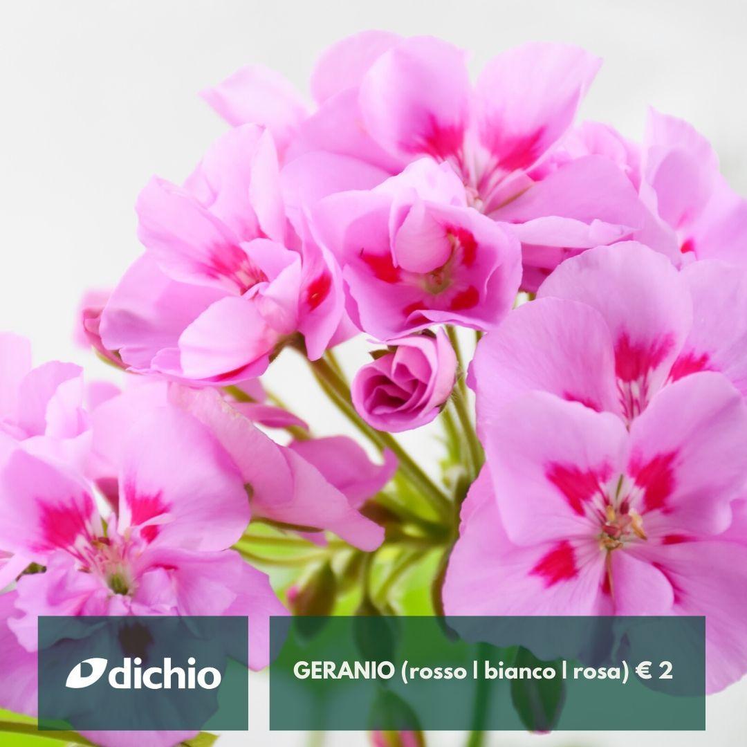 Geranio (rosso | bianco | rosa)