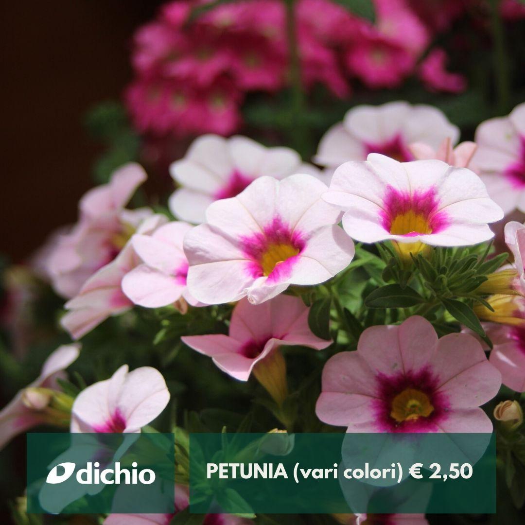 Petunia (vari colori)