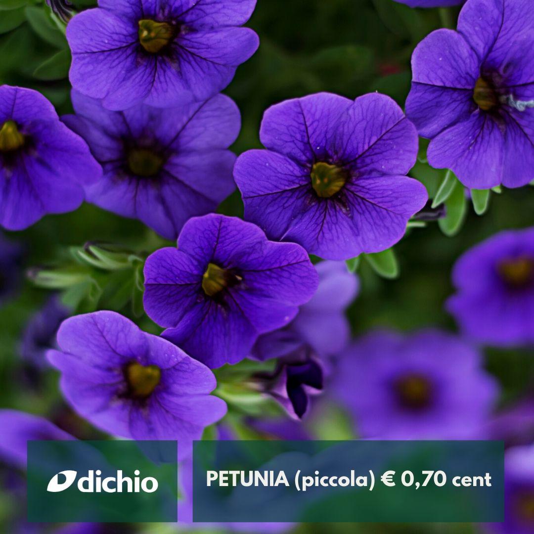 Petunia (piccola)
