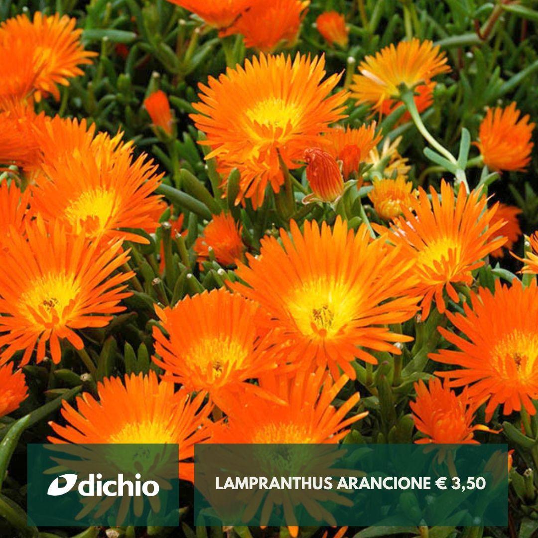 Lampranthus arancione