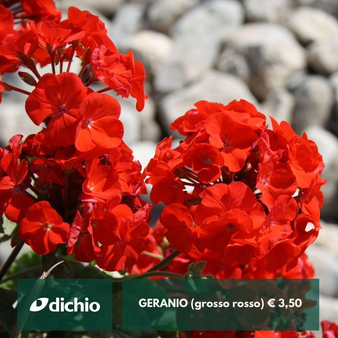 Geranio (grosso rosso)
